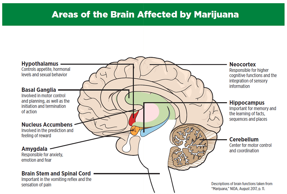 Areas of the Brain Affected by Marijuana