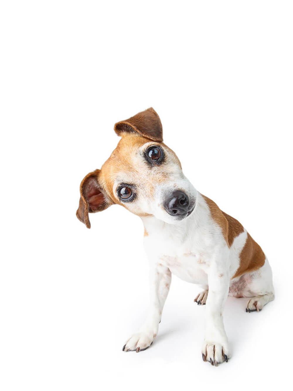 Dog with head turned sideways white background