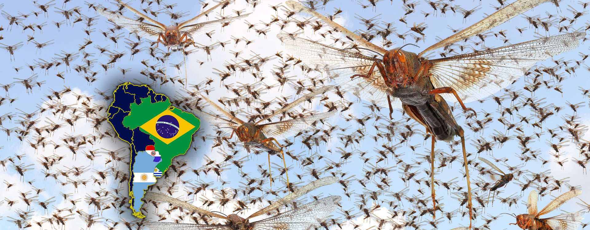 Locusts swarming and a map showing Brazil Argentina Uruguay and Paraguay