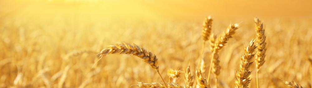 wheat field against golden sunset