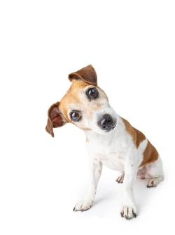 Dog with head turned sideways white background