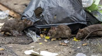 urban rats eating from a bag of trash