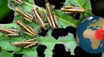locusts devouring leaves