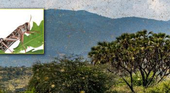 swarm of locusts in Africa with an inset closeup of locust