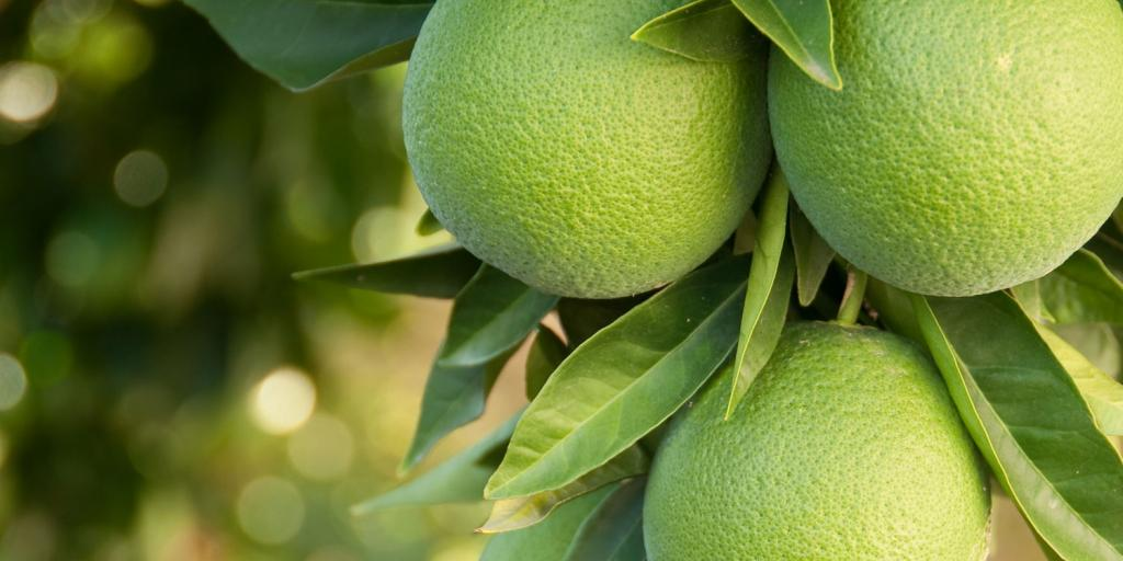 tree with green oranges